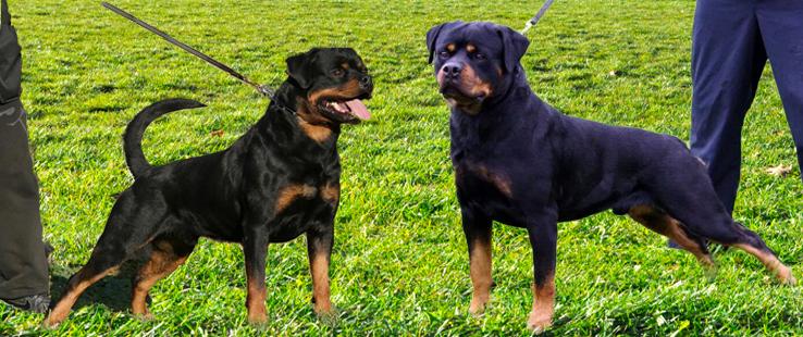 rottweiler, rottweilers, rotttweiler puppies, rottweiler breeder virginia, rottweiler breeder maryland, rottweiler breeder pennsylvania, rottweiler breeder new york, rottweiler breeder north carolina, rottweiler breeder west virginia